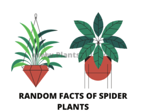 Random facts of spider plants
