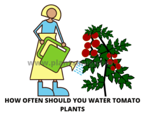 Steps how often should you water tomato plants