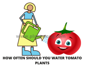 Warning and tips how often should you water tomato plants