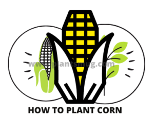 Interesting facts about corn