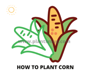 Steps how to plant corn