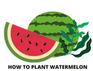 Steps how to plant watermelon