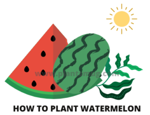 How to plant watermelon tips and warning