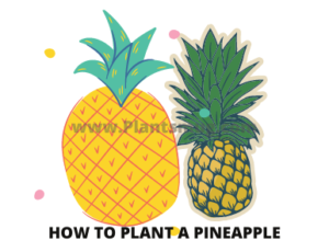 Interesting facts about Pineapple plants