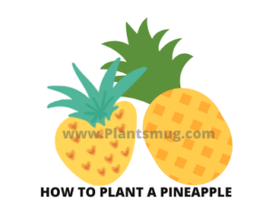 Steps how to plant a pineapple