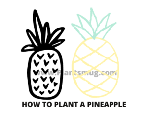 Tips how to plant a pineapple