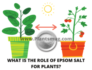 What is the role of Epsom salt for plants?