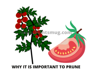 Why it is important to prune your growing plant