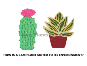 How Is a CAM Plant Suited To Its Environment? ( C4 Plants)
