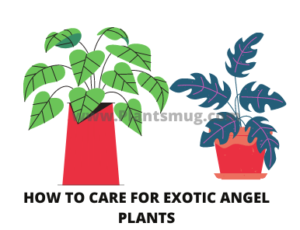 Steps How to Care for Exotic Angel Plants
