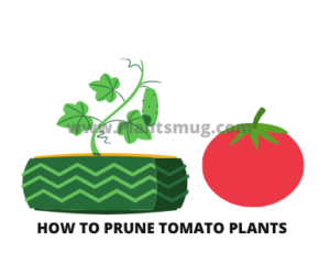 Steps how to prune tomato plants