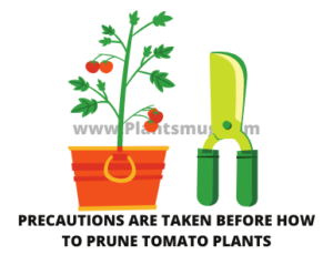 Precautions are taken before how to prune tomato plants