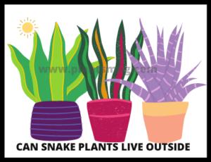 Can Snake Plants Live Outside