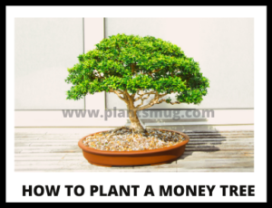 Steps how to plant a money tree