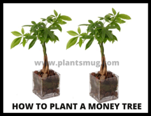 Essential Requirement while planting a money tree