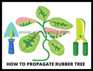 Steps how to propagate rubber tree