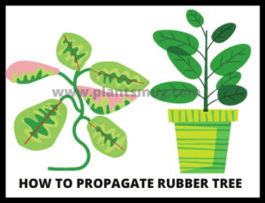 How to propagate rubber tree ( tips & warning):