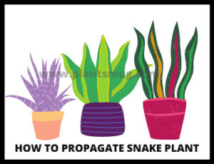 How To Propagate Snake Plant (1)