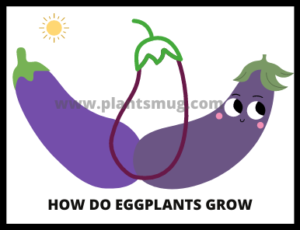 Steps how do eggplants grow