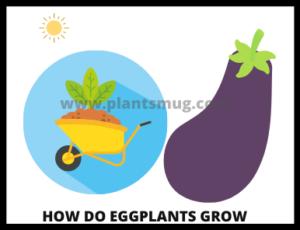 How do eggplants grow ( tips & warning)