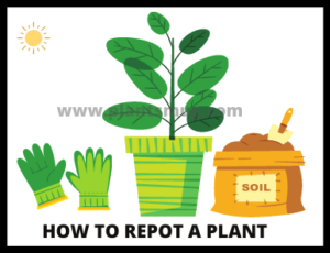 How To Repot A Plant ( Steps)