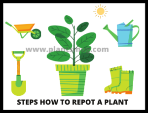 steps How To Repot A Plant
