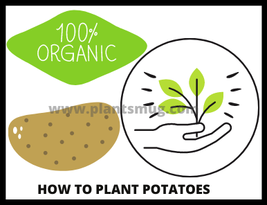 Steps on how to plant potatoes