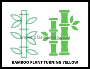 Bamboo Plant Turning Yellow