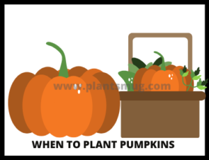Steps When to Plant Pumpkins