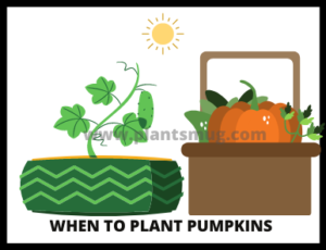 When to Plant Pumpkins ( Tips & Warning)