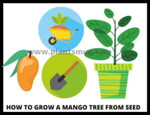 Steps how to grow a mango tree from seed