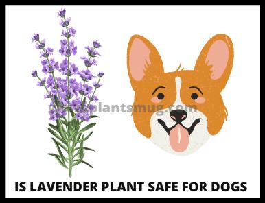 Is Lavender Plant Safe For Dogs