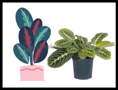 Prayer Plant Problems